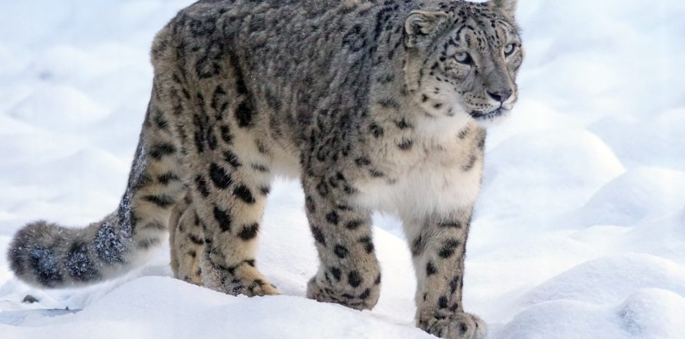 snow-leopard-c